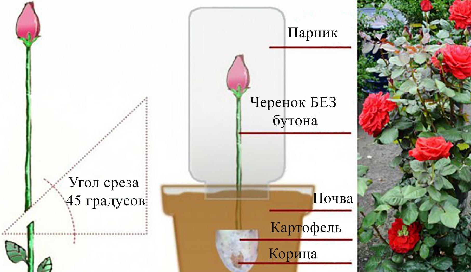 Выращивание розы из черенка - делаем правильно 52