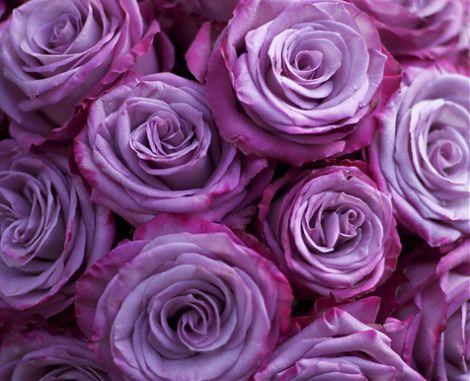моди блюз роза фото